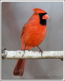 Cardinal D3N_1351.jpg