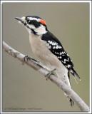 Downy Woodpecker D3N_1356.jpg