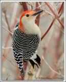 Red Bellied Woodpecker D3N_1337.jpg