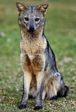 Lobinho  (Cerdocyon thous)