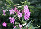 Nicotiana Blossoms - Sidewalk Garden