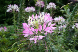 Cleome Blossoms - Community Garden