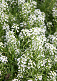 Alyssum Blossoms - Community Garden