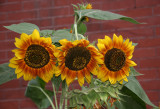 Sunflowers - St John's Lutheran Church