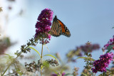 Monarch & Butterfly Bush
