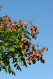 Golden Rain Tree Seed Pods