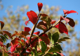 Burning Bush Foliage