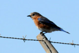 Eastern Bluebird or Sialia sialis
