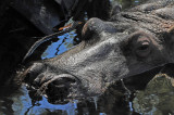 Hippopotamus - Wildlife State Park