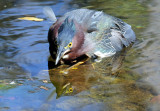 Green Heron - Wildlife State Park