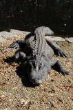 Aligators - Wildlife State Park