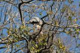 Blue Heron Nest - Wildlife State Park