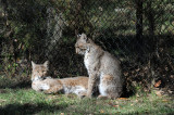 Bob Cats Mating Time - Wildlife State Park