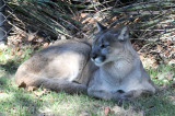 Florida Panther or Cougar - Wildlife State Park