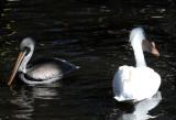 Pelican - Wildlife State Park