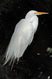 Great Egret or Casmerodius albus - Wildlife State Park