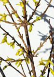 Forsythia & Pussy Willow Tree Cuttings