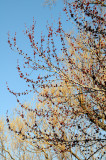Budding Maple Tree at the Duck Pond