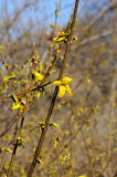Forsythia Bud Blossoms near the Dairy House