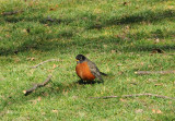 Robin - Sheep's Meadow