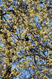 Pussy Willow Tree Blossoms