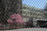 Prunus Tree Blossoms at P.S. 41 Playground