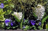 Hyacinths & Pansies