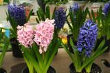 Hyacinths - Flower Market