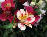 Alstroemeria - Flower Market