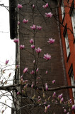 Tulip Magnolia Tree in Blossoms