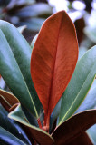 Magnolia Tree Foliage