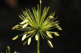 Allium Seed Pods