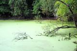 Green Heron - Buterides striatus