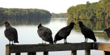 Black Vultures - Coragyps atratus
