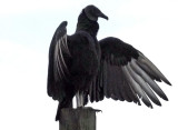 Black Vulture - Coragyps atratus