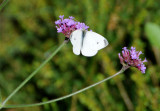 Cabbage White Butterfly on Verbena Blossom