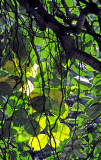 Weeping Beech Tree Foliage