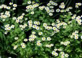 Chrysanthemum paludosum or 'Snow Land'