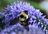 Bee on a Lysimachia Blossom - Greenstreet Garden