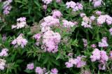 Spirea in Bloom