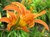 Day Lily Blossoms