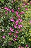 Wine Cup Flower or Callirhoe involucrata