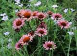 Echinacea Asters & Iphelon Lilies - Highline View