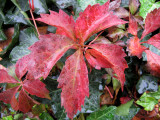 Virginia Creeper Vine & English Ivy in Rain