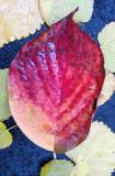 Dogwood and Mulberry Foliage
