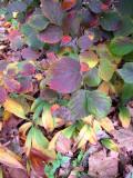 Fotherilla Bush Fall Foliage