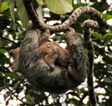 Three Toed Sloth with Baby Sloth