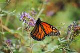 Monarch on Buddleja Blossoms