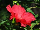 Red Pancake Hibiscus