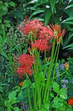 Hurricane Lily or Licoris Radiata